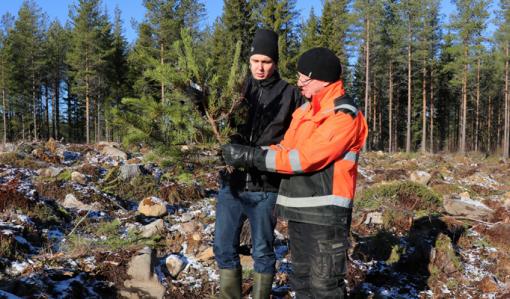 Skogsägaren Juho Yli-Kaatiala och utvecklingsexperten Heikki Kuoppala från Skogscentralen undersöker en tall som älgarna ätit av.