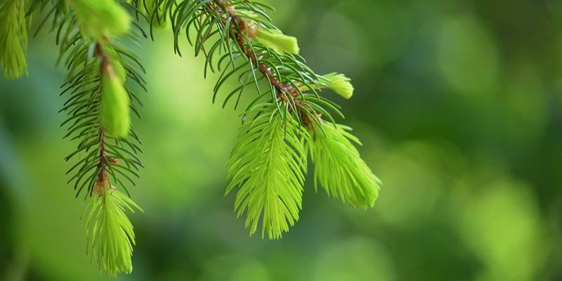 Ljusgröna granskott i närbild i skogen.