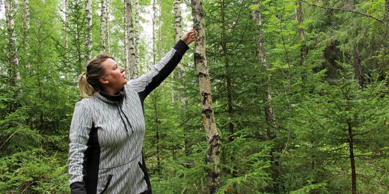 Turismföretagare Matleena Pulkkinen känner på en björk i skogen för att få veta om det har börjat växa sprängticka på den.