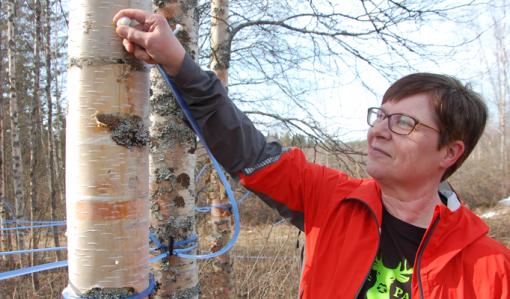 I hålet som har borrats i trädet fästs ett munstycke från vilket det går ett rör till ett insamlingskärl. Tiina Aittolampi känner efter om munstycket sitter kvar.