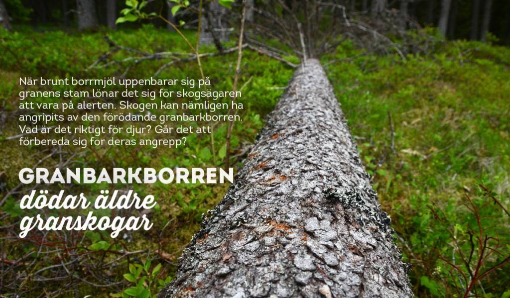 Granbarkborren dödar äldre granskogar