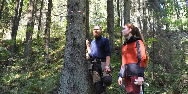 Mika Hämäläinen och Inna Salminen ser på ett träd i skogen som märkts ut med fiberband. Vid roten av det här trädet hittades spillning av flygekorre för några år sedan.