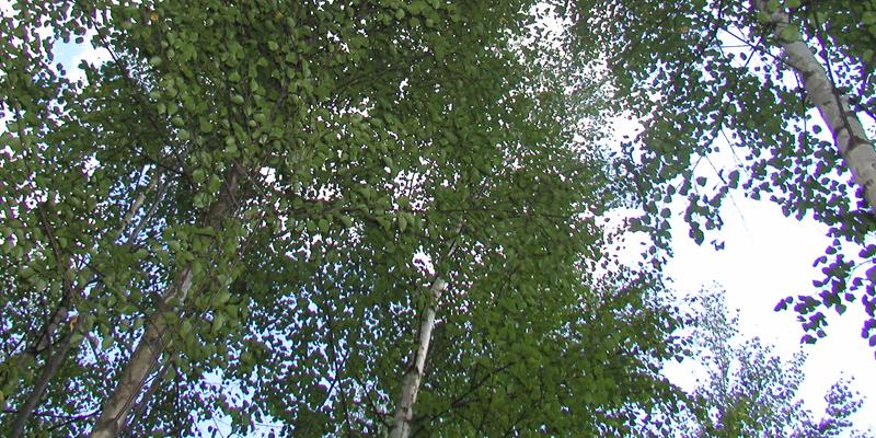Björkarnas kronverk fotograferat underifrån.