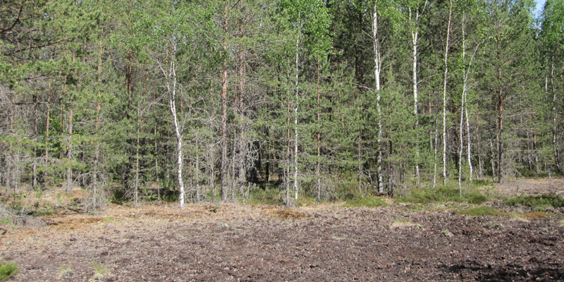 Skog som planterats på ett tidigare torvutvinningsområde.