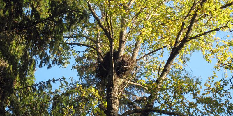 Ett duvhöksbo i en björk.