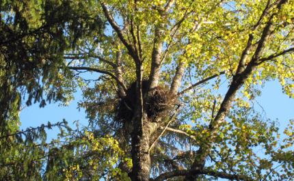 Hela skogsnaturen gynnas av att rovfåglarnas boträd sparas