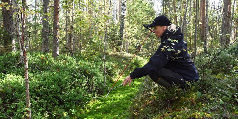 Miia Saarimaa mäter ett dikes torvskikt med en mätstav i torvmarksskog.