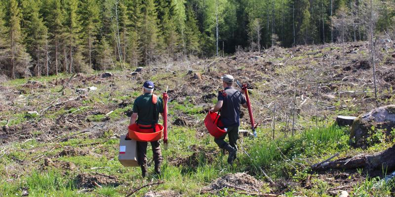 Två män går mot en kalyta med planteringsrör och plantor för att plantera.