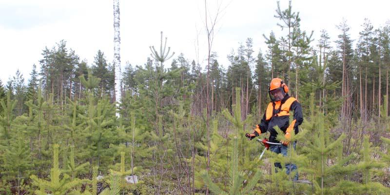 Hjälm på huvudet håller läkaren borta – så här sköter du skogen på ett säkert sätt