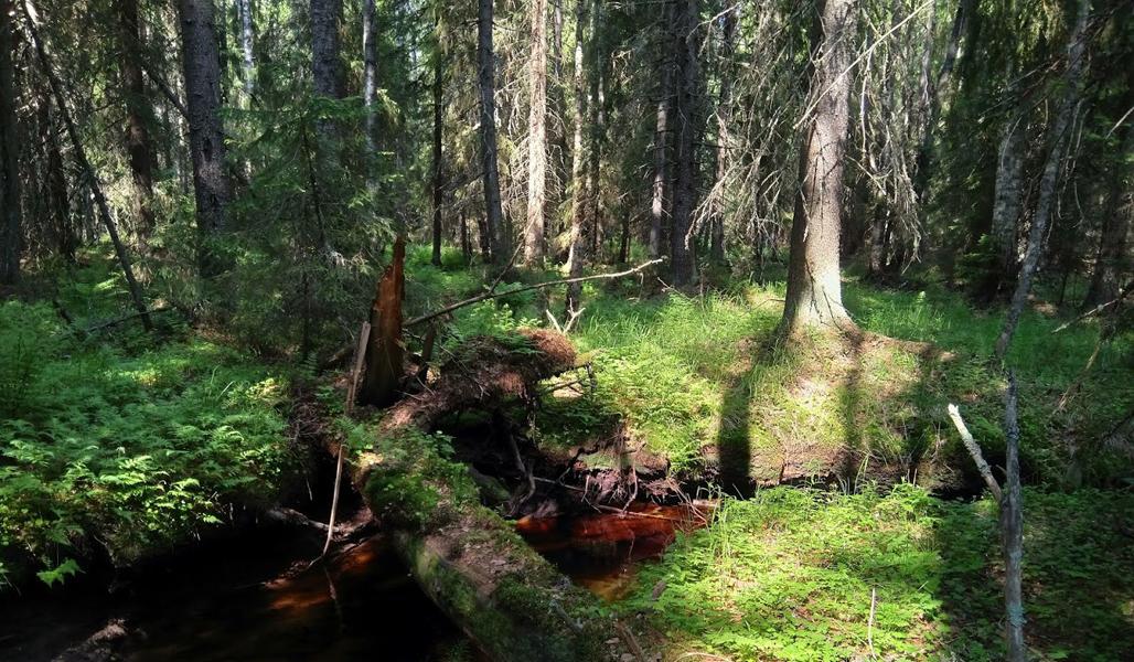 Kuvassa on luonnontilainen puro