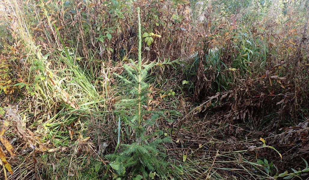 På bilden syns en granplanta efter att man trampat ner gräset omkring den så att den får plats.