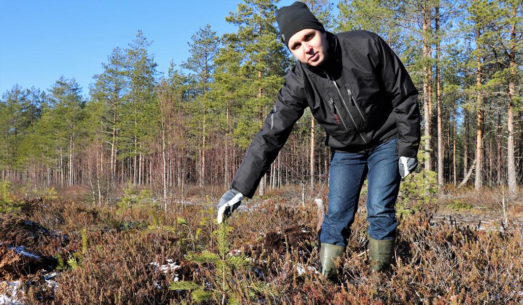 Juho Yli-Kaatiala står böjd för att visa en tallplanta som undkommit älgen. I bakgrunden syns skog.