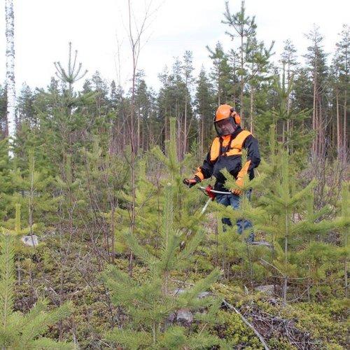 @metsakeskus: Kypärä metsätöissä pitää lääkärin loitolla. Metsänhoitotöissä voi sattua monenlaisia vaaratilanteita ja metsänomistajan kannattaa varautua erilaisiin tilanteisiin etukäteen. Tyypillisiä haavereita metsässä ovat liukastuminen, silmävammat ja ampiaispesään törmäämisestä seuraavat pistokset. Metsätöitä varten on hyvä hankkia esimerkiksi kunnolliset kengät, laadukas kypärä ja työkäsineet. Lue Metsään-lehden jutusta vinkit turvalliseen metsänhoitoon ➡️ metsaan-lehti.fi / miskog-kundtidning.fi #metsänhoito #metsä