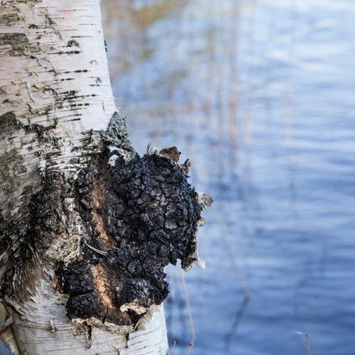 @metsakeskus: Oletko miettinyt, voisivatko koivumetsäsi soveltua pakurin viljelyyn? 🌳🤔  Pakurin viljely on viime vuosina yleistynyt, ja se tarjoaa metsäomistajalle mahdollisuuden lisätuloihin tavanomaisen metsänhoidon lisäksi.  Lue Metsään-lehden jutusta, miten pakurin viljelyssä pääsee alkuun ja millaista tuottoa sadonkorjuun jälkeen on odotettavissa 👉 www.metsaan-lehti.fi  #pakuri #metsänomistus