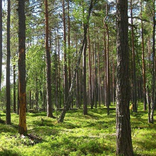 @metsakeskus: Hyvää maailman ympäristöpäivää! 🌲🌞 Metsät ovat maapallon vihreät keuhkot, ja puut vaikuttavat ympäristön laatuun monin eri tavoin.  Talousmetsien luonnonhoidon keinoin, muun muassa säästöpuita ja suojavyöhykkeitä hyödyntämällä, voidaan kaupungeissa ja taajamissa lisätä viihtyvyyttä sekä suojata asutusta liikenteen ja teollisuuden synnyttämältä pölyltä ja pienhiukkasilta.  #metsä #ympäristöpäivä #puut #luonto