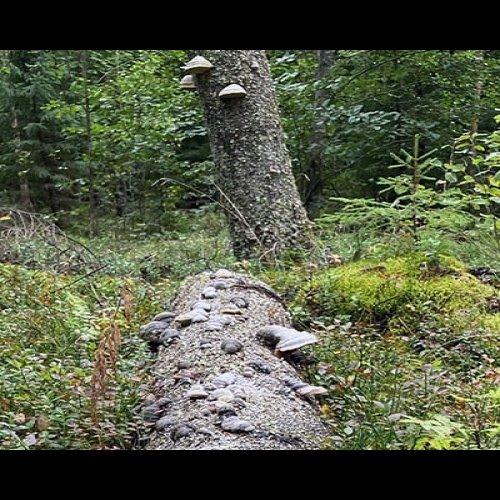 Oletko miettinyt, miksi metsiin tarvitaan kuollutta puuta ja mitä puita kannattaa jättää säästöpuiksi?  Lue Metsään-lehd...