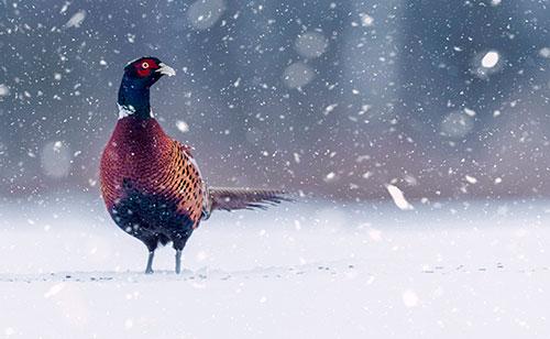 En fasantupp står i snön med huvudet vänt i profil. Det snöar stora flingor.