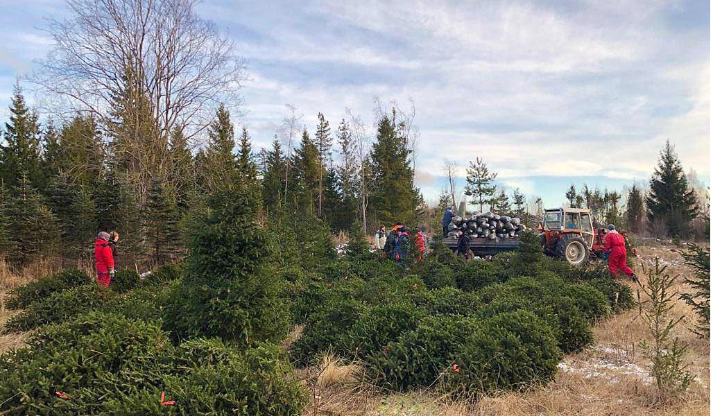 Pussitettuja joulukuusia nostetaan traktorin lavalle joulukuusiviljelmällä.