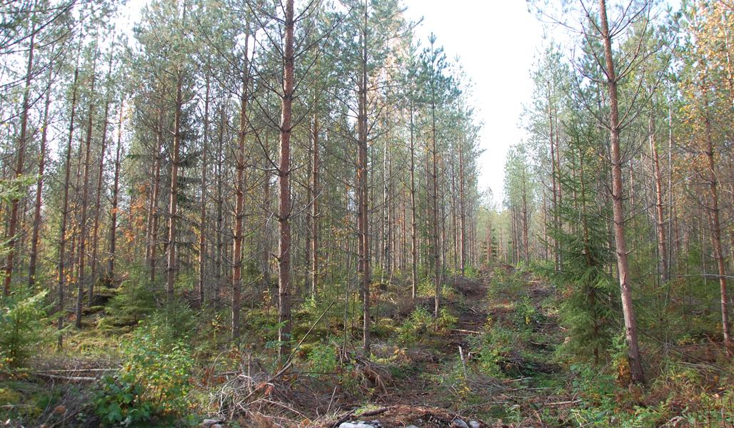 Ett snyggt körstråk går genom en gallrad tallskog.
