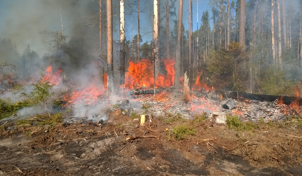 En brinnande grupp naturvårdsträd.