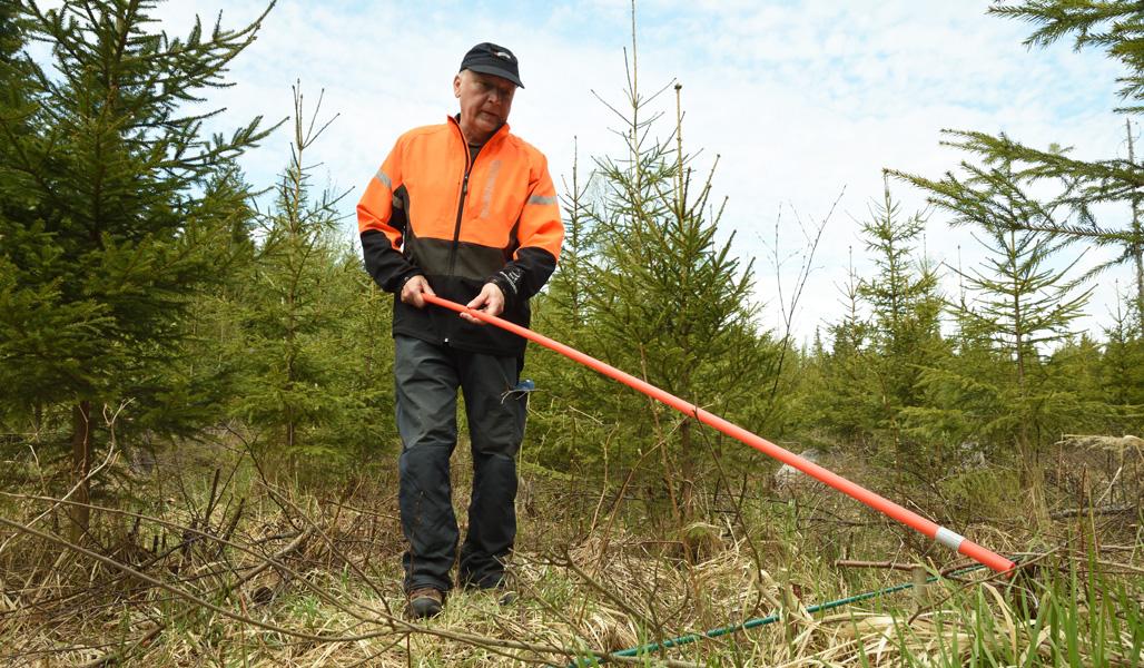 Skogsägaren Jyrki Suojalehto mäter med en plogkäpp och räknar antalet borttagna träd i en plantskog.
