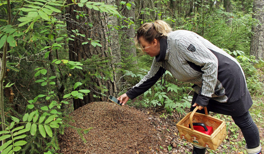 Matleena Pulkkinen böjer sig ner för att fotografera en myrstack. I andra handen har hon en bärkorg.