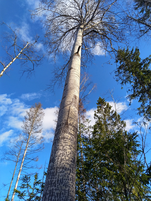 Kuvassa on lehdetön haapa kuvattuna alaviistosta. Taustalla näkyy taivasta ja poutapilviä.