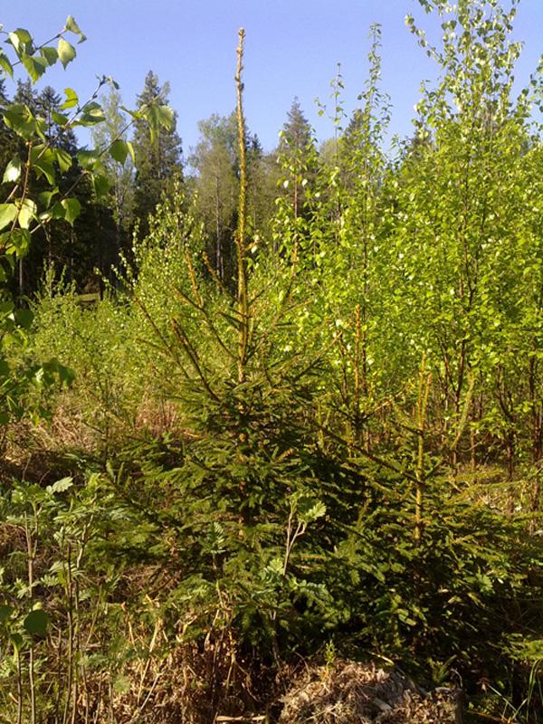 Granplantor som planerats samtidigt men är olika höga. Granen som planterats på högen har vuxit bättre.