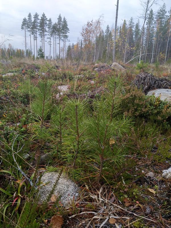 Tallplantor. I Bakgrunden syns en grupp naturvårdsträd.