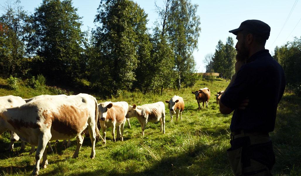 Mika Hämäläinen ser på när de östfinska korna går förbi på skogsbetet.