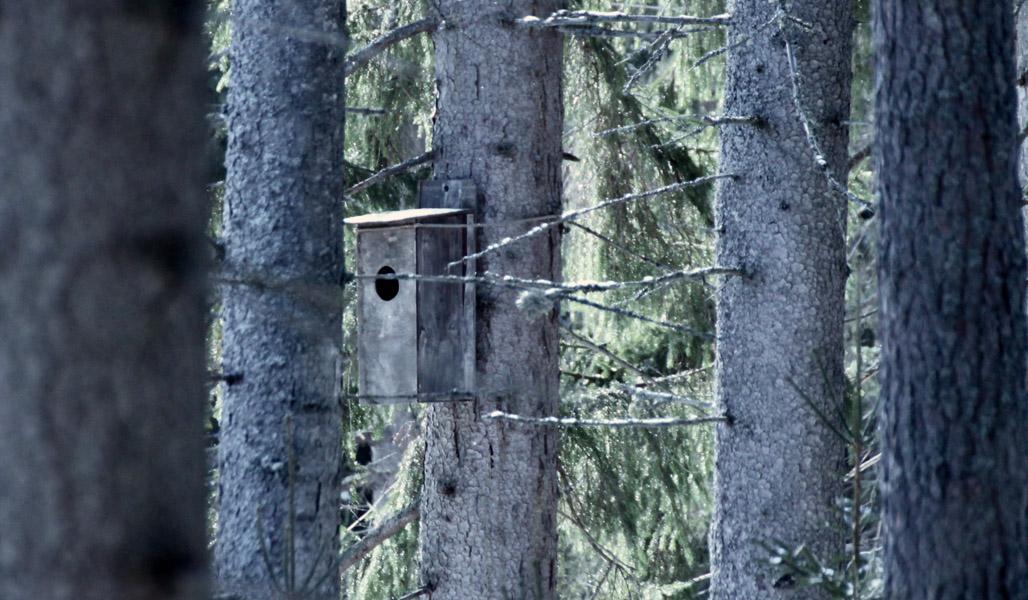 En uggleholk fäst på en trädstam. Omkring dem syns andra träd.
