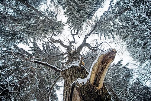 En stor och snöprydd sälg fotograferad intill stammen uppåt mor kronan. Okring den syns granars kronor.