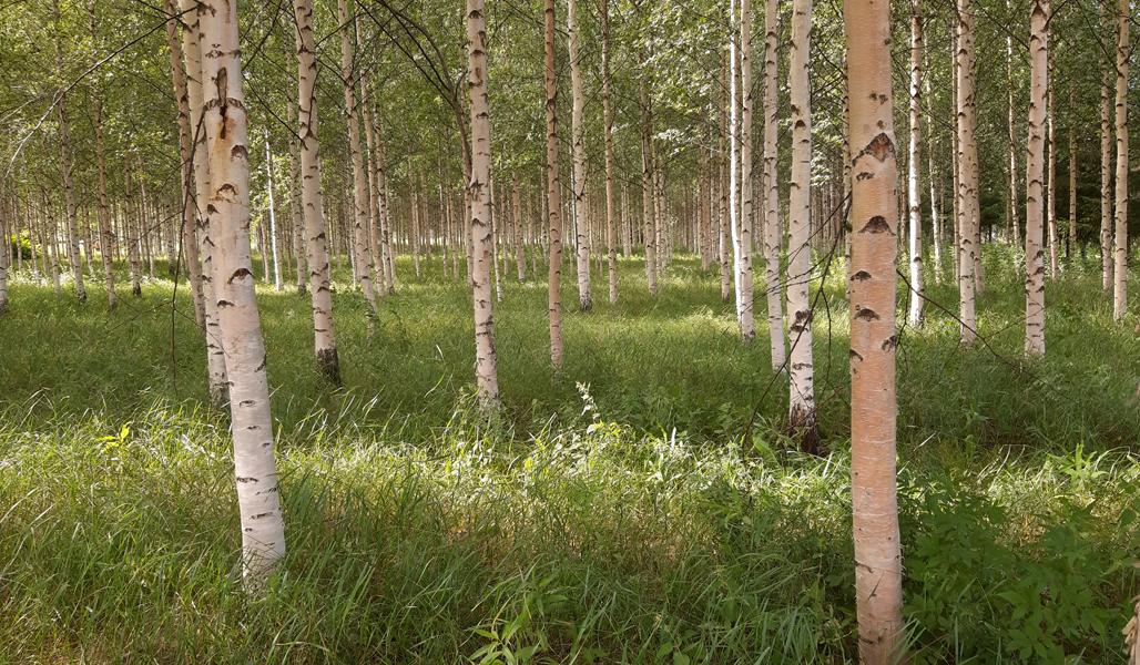 En sommarbild på vårtbjörkskog som planterats på en före detta åker.