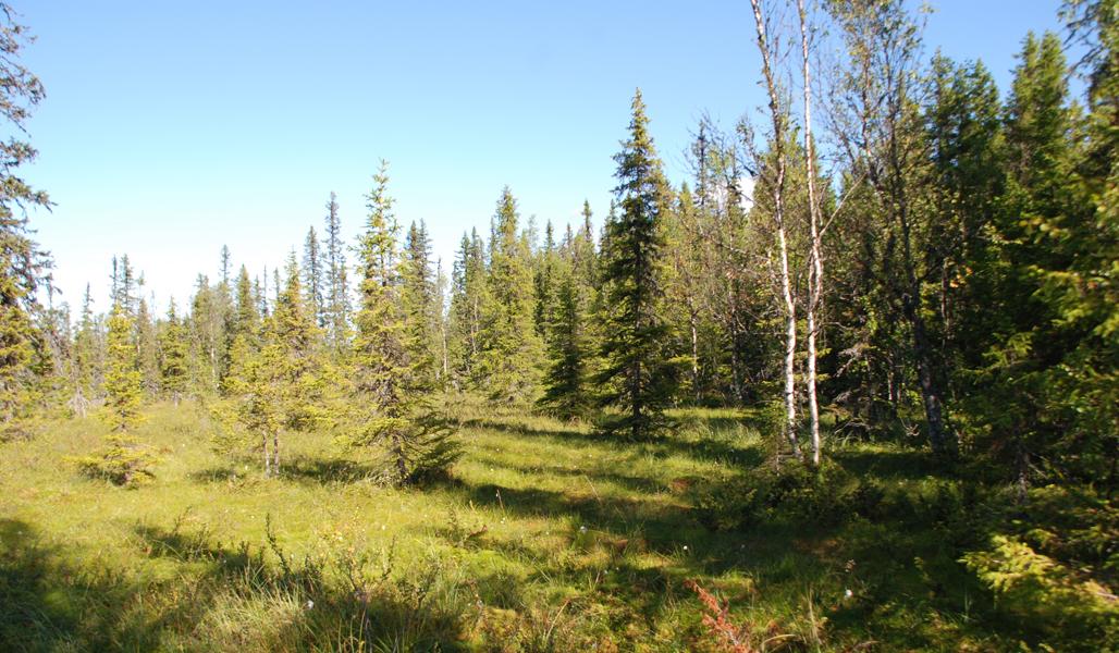 Ett område mellan en myr och skogen på sommaren.