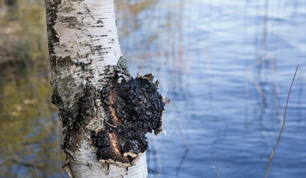 Koivun rungossa kasvaa musta pakuri. Taustalla näkyy vettä.