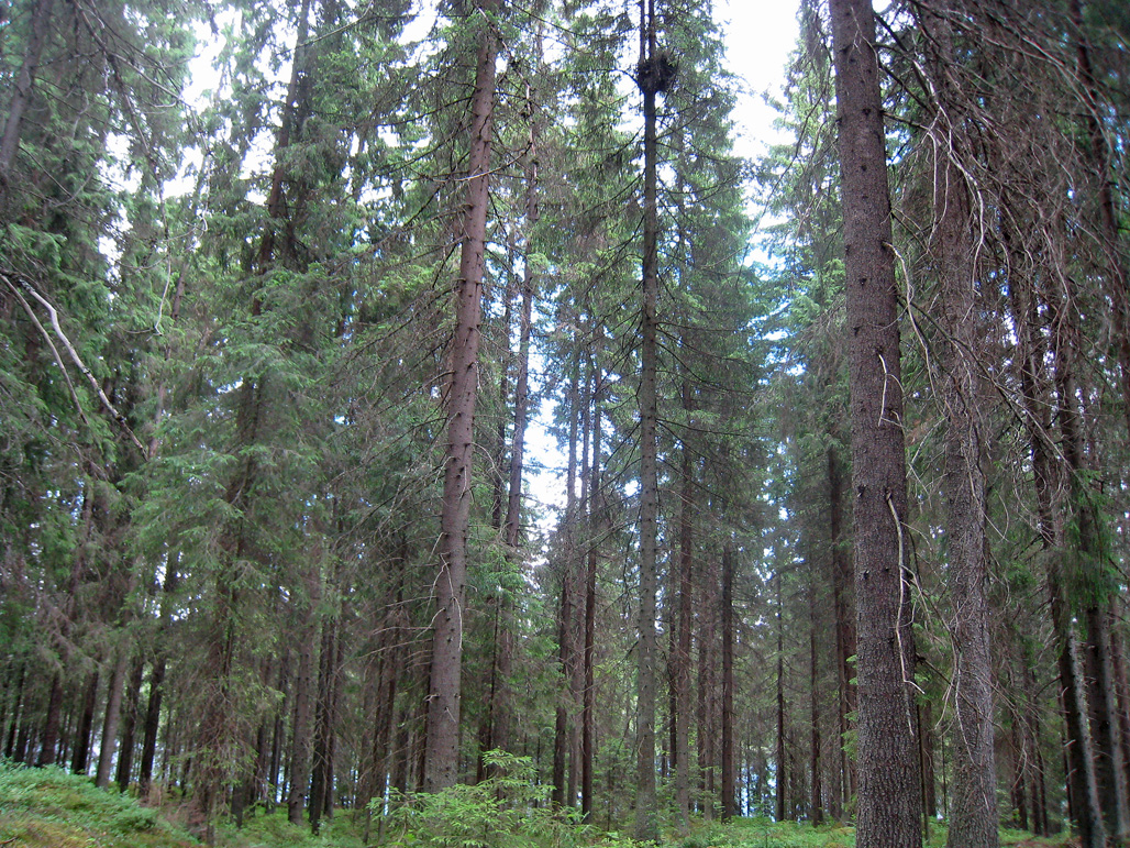 Ett duvhöksbo högt uppe i en gran.