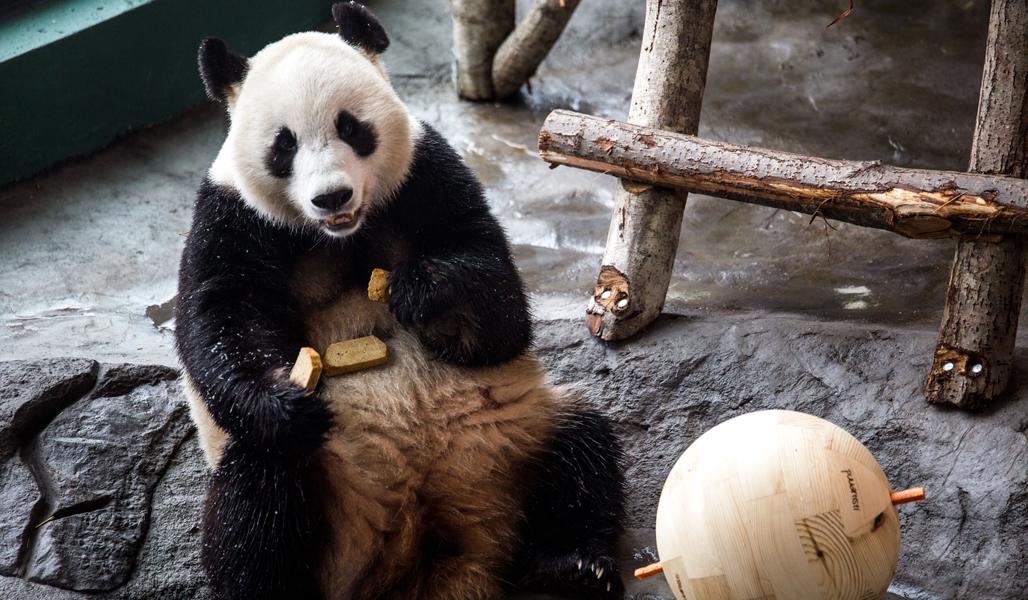 En panda i Etseri djurpark sitter på marken och framför den på marken ligger en träboll.