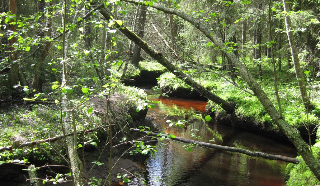 Skog vid kanten till en bäck.