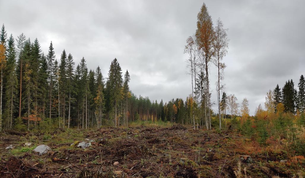 En höstbild på en avverkningsyta där man sparat naturvårdsträd.