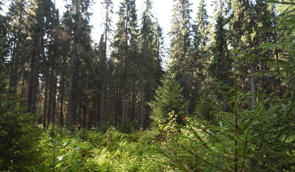 En lucka som huggits i torvmarksskog.