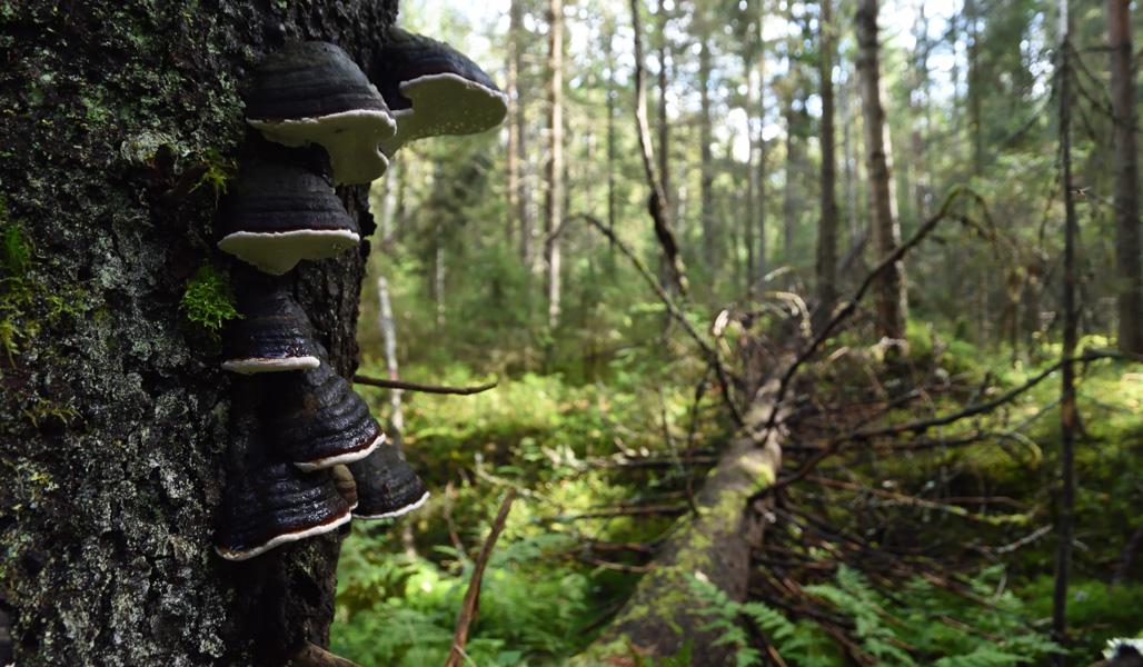 En död stående trädstam där det växer tickor. I bakgrunden ligger en grov död trädstam.