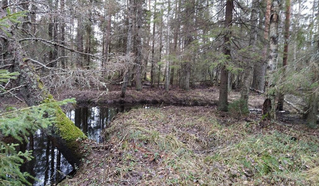 Intill bäckfåran växer skog i naturtillstånd.